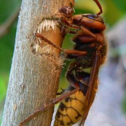 Уничтожение шершней в Саратове